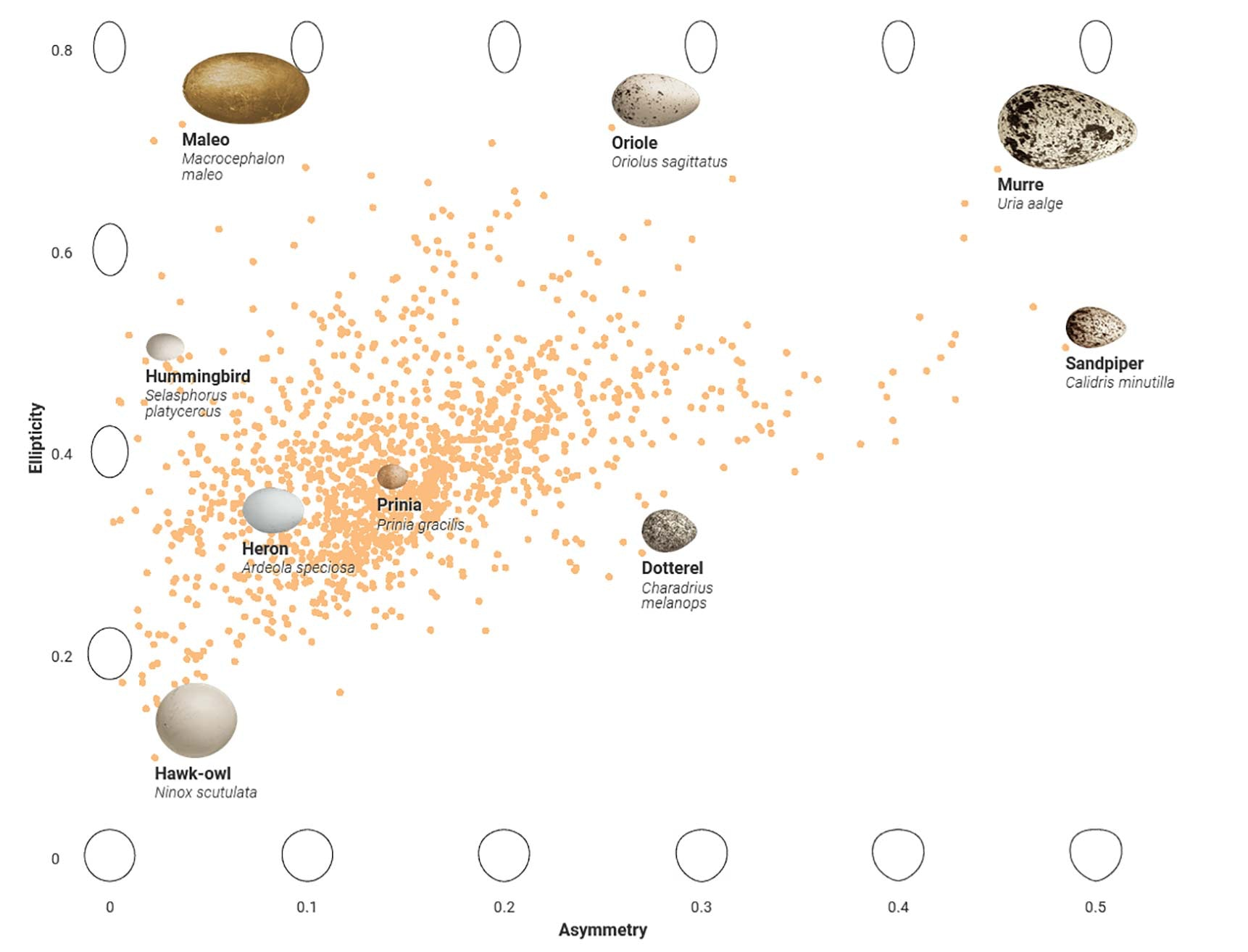 Data visualization showing the relationship between asymmetry and ellipticity in bird eggs